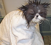 Cat after Bath
